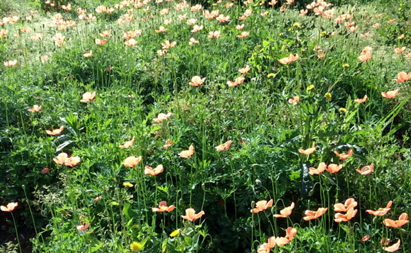 20150430 poppy 21cm 07430002