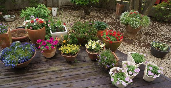 20150520 夏向けのverandaの花 21㎝ DSC04850