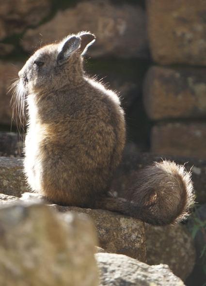 20150608 Machupicchi ペルーウサギ 15㎝DSC07589