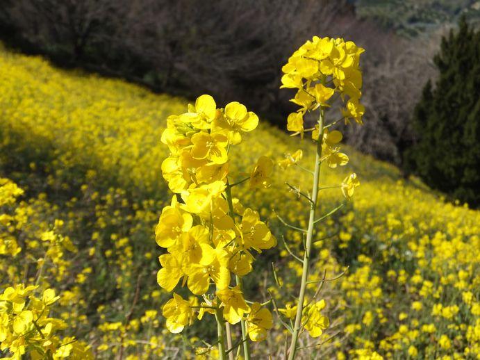 150301-04_菜の花