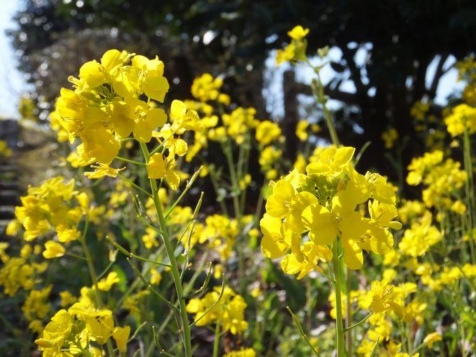 150301-07_菜の花
