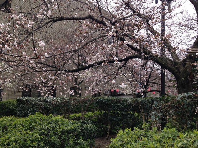 150331-03_桜
