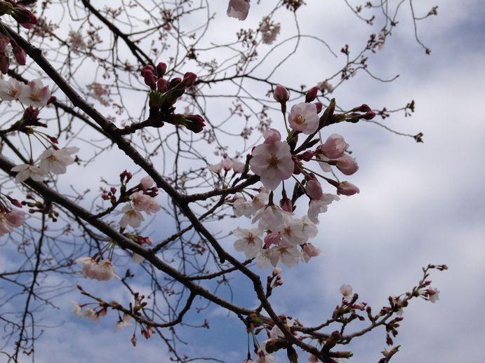 150331-04_桜