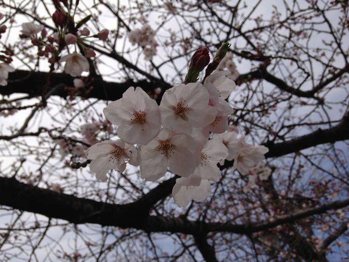 150331-05_桜