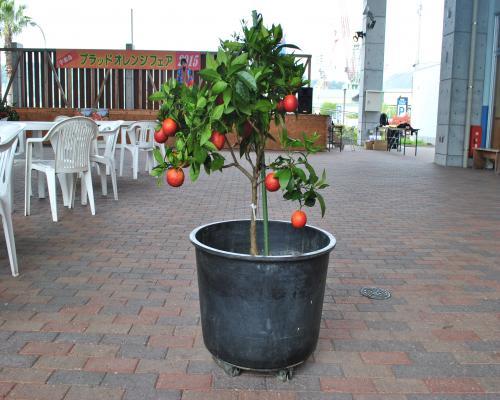 ブラッドオレンジの木