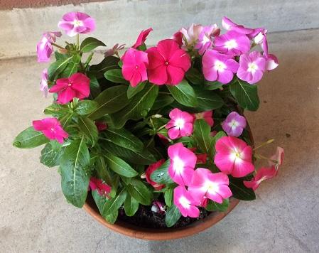 500ピクセル 盛り鉢の花270628
