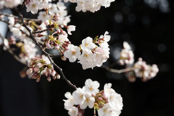 600_桜_1061 (1)