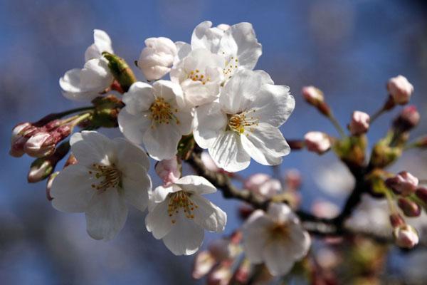 600_桜_1061 (2)
