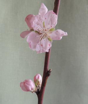 京大農場桃blog01