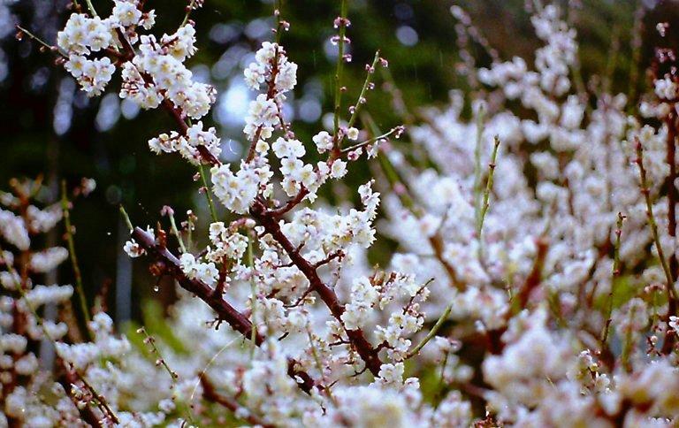 長楽寺 梅の花-1