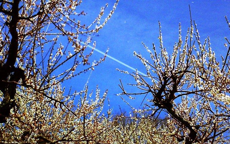 梅と飛行機雲-1