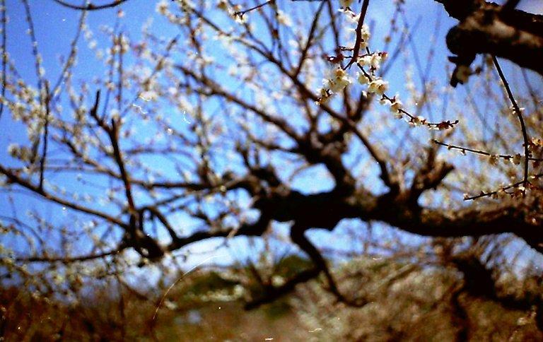 長楽寺三月の梅-1