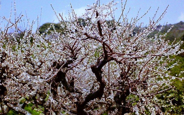 長楽寺三月の梅-2
