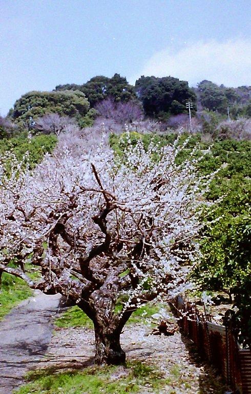 長楽寺三月の梅-3