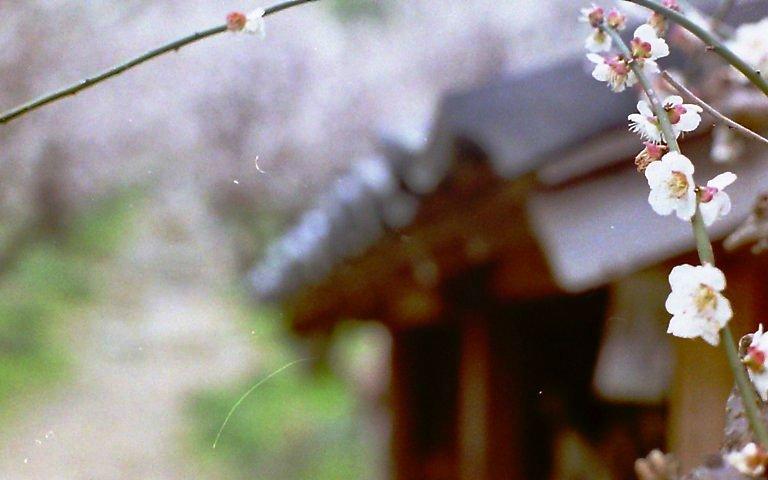 長楽寺三月の梅-7
