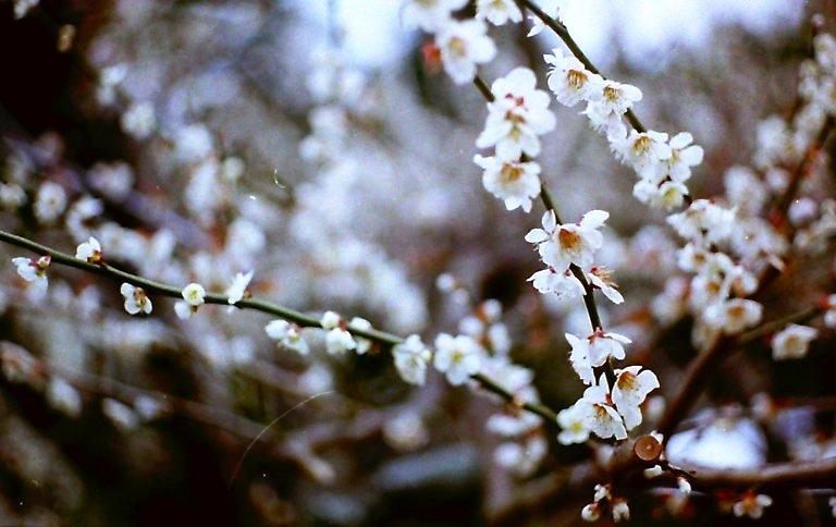 長楽寺、三月の梅-11