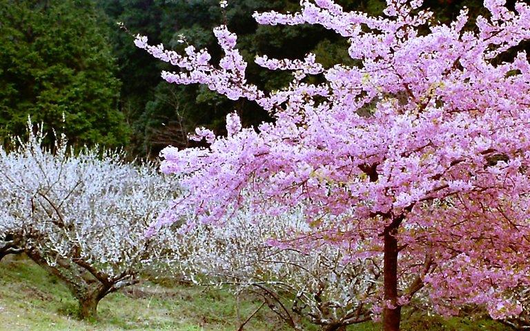 長楽寺、梅と桜-1