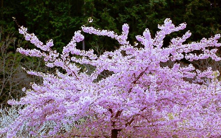 長楽寺、桜-1