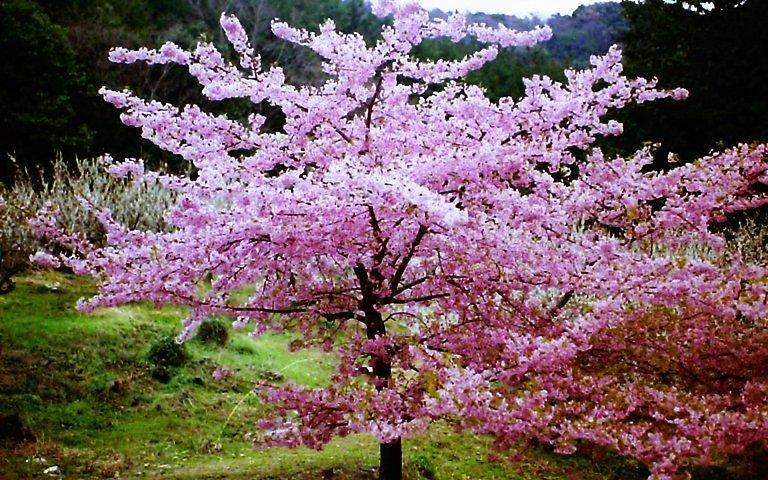 長楽寺、桜-2
