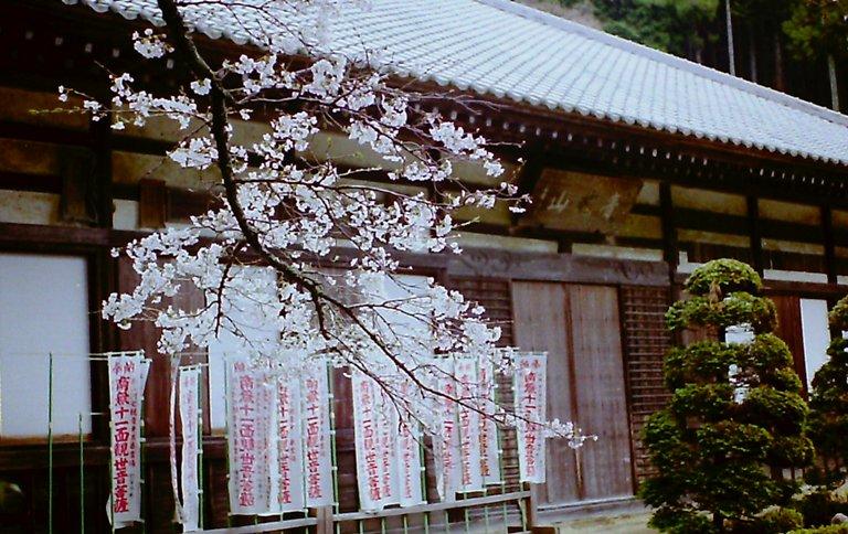 満光寺の桜-2