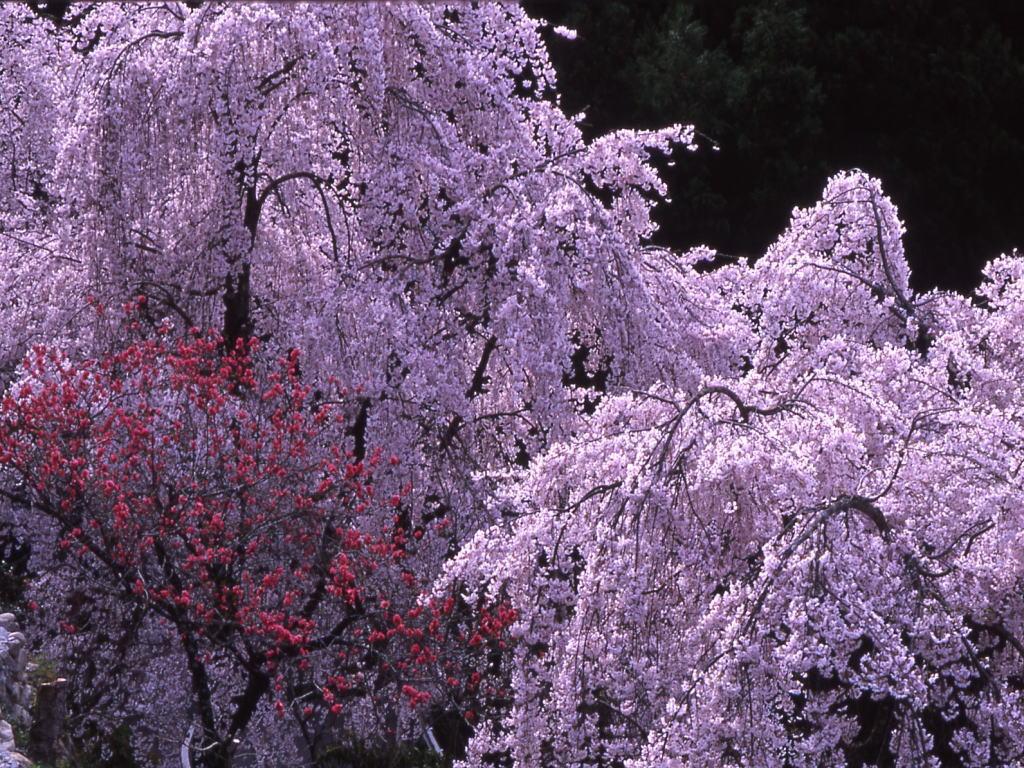 としだれ桜2