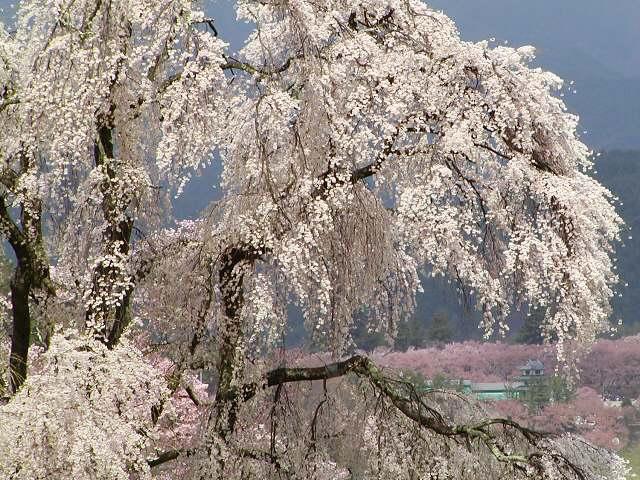 としだれ桜4