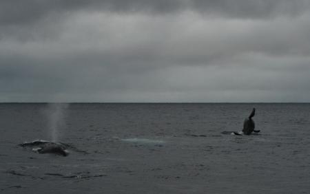2015.3.8 ザトウクジラ