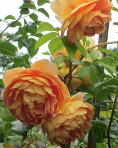 薔薇パットオースチン