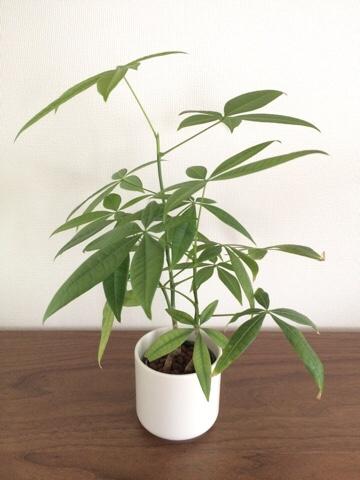 無印良品 無印 muji MUJI 良品週間 瀬戸焼の鉢 パキラ ハイドロカルチャー 無印の観葉植物 インテリアグリーン