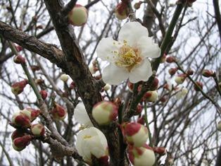 2-23梅の花