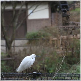 150101E 051コサギ@上谷水車SQ
