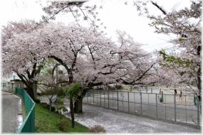 150404E 061桜の二小32