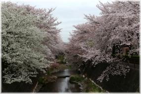 150404E 090桜の三沢川32