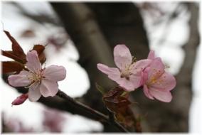 150411E 033桜接@多摩東p32