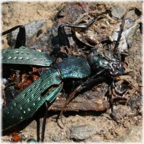 150517E 037緑の甲虫死体@坂浜SQ