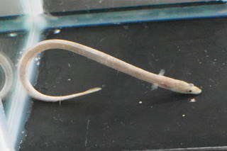 アメリカウナギ(浜名)