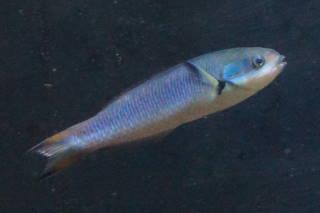 コガシラベラ雌(淡島)