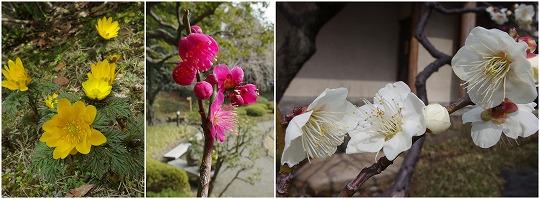 150225清澄庭園の花