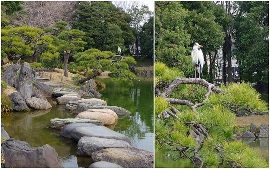 150225清澄庭園アオサギ-1