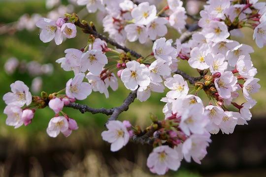 150331桜並木-3