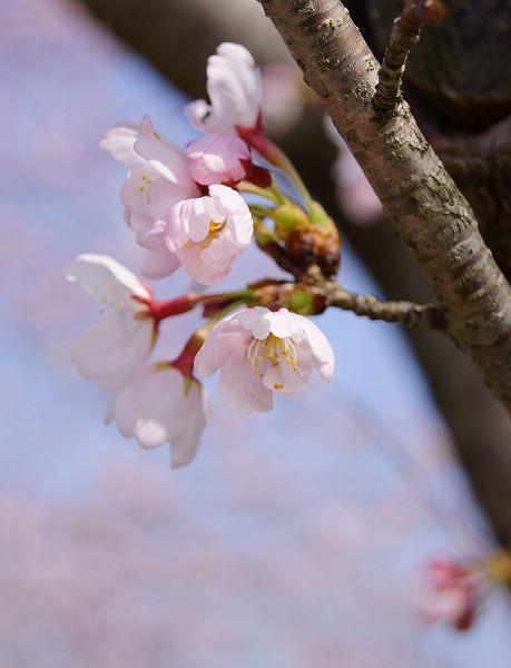 150331桜並木-5