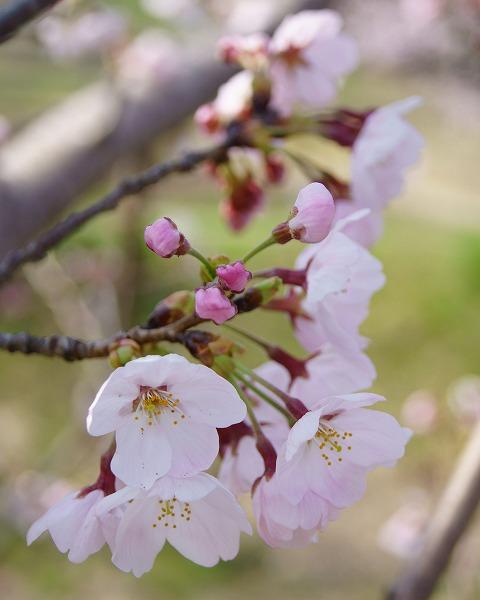 150331桜並木-6