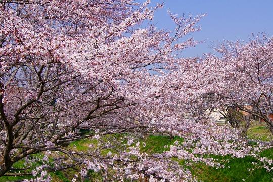 150331桜並木-1