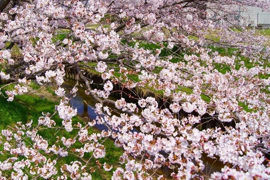 150331桜並木-2