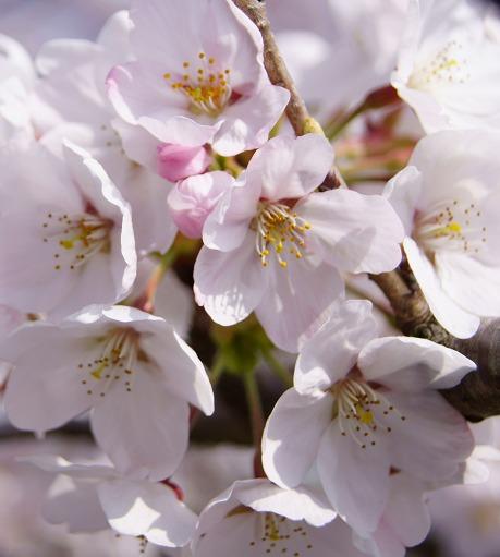 150331桜並木-4