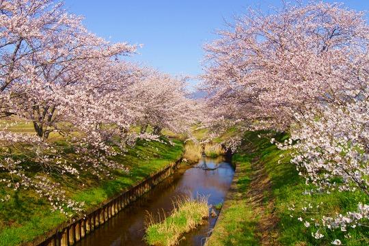 150402千本桜並木-1