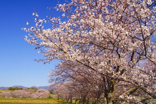 150402千本桜並木-2
