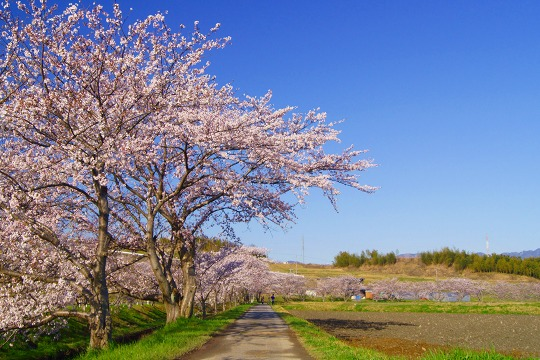 150402千本桜並木-3
