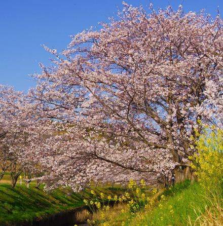 150402千本桜並木-4