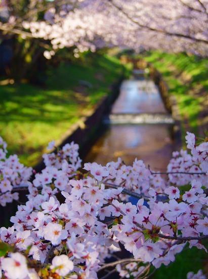 150402千本桜並木-5